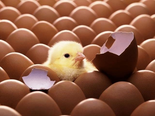 Вылупившийся цыпленок среди яиц