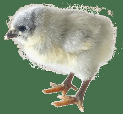 Цыпленок Гриз сенди