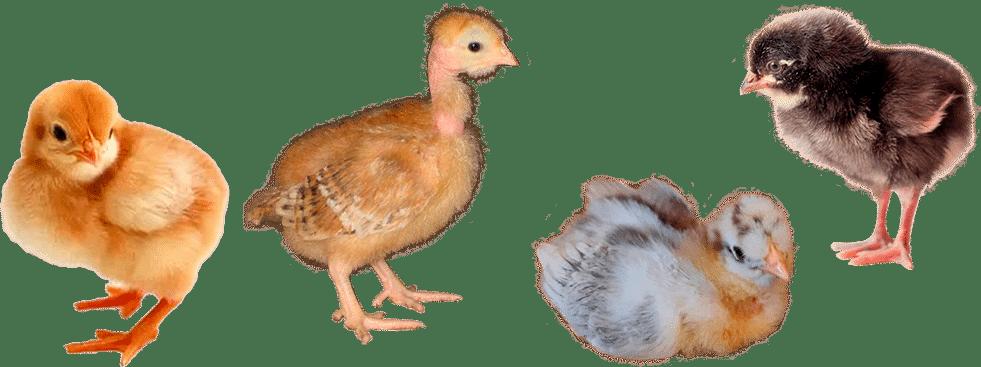 Мясо-яичные породы